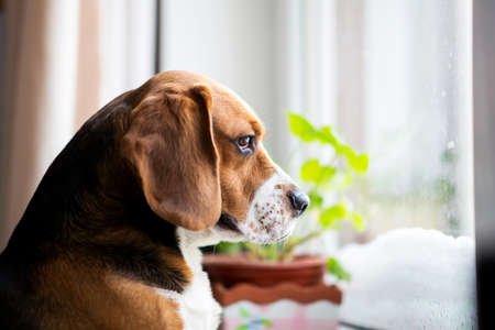 Photo pour Portrait of american beagle dog sits on the window and sadly looks out the window - image libre de droit