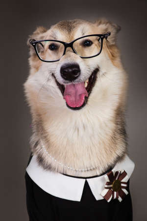 Photo pour Studio portrait of middle size dog wearing school uniform dress and sunglasses, looking at the camera and sitting, on grey background - image libre de droit