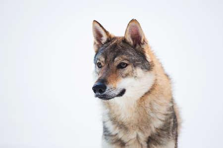Foto für Grey Wolf - Canis lupus standing in a meadow on snow - Lizenzfreies Bild