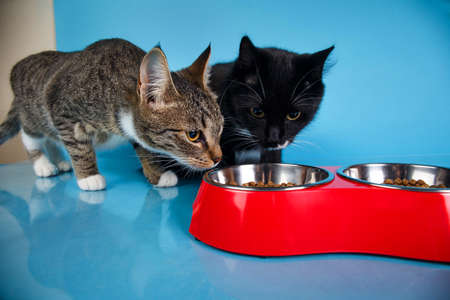 Foto de Portrait of a cute gray and white striped and black kittens sitting and eating dry food in red bowl at blue background. The cat is looking at camera. - Imagen libre de derechos