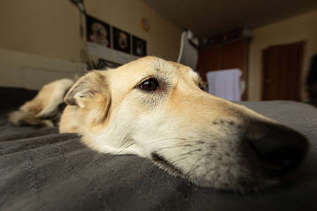 Photo for Closeup of neb of funny dog with beige wool relaxing on bed and looking away at home - Royalty Free Image