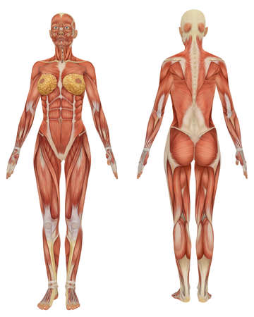 front and rear view of female muscular anatomy very educational