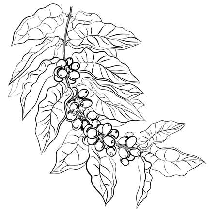 hand drawing branch of coffee