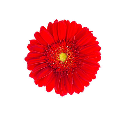 Photo for Red gerbera flower close up. Studio Photo - Royalty Free Image