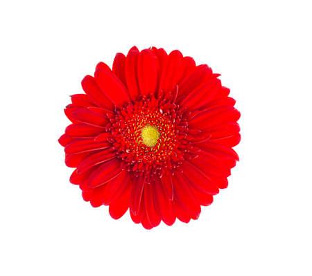 Foto de Red gerbera flower close up. Studio Photo - Imagen libre de derechos