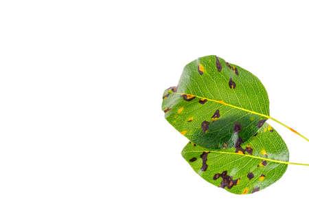 Foto für Rust on pear leaves, fruit plant disease. - Lizenzfreies Bild