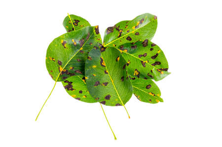 Rust on pear leaves, fruit plant disease.