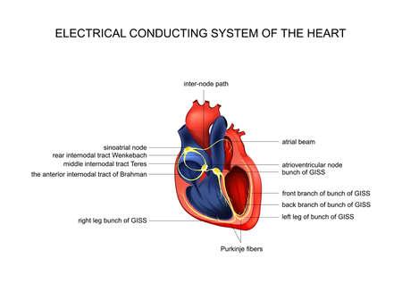 Illustration pour electric conducting system of the heart - image libre de droit