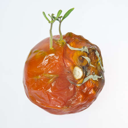 Tomatoes plants growing in the rotten and moldy tomato