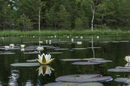 Photo pour Nymphaea alba bloom. Water lily blossom among green leaves and blue water. White lotus with yellow pollen in bog. Blooming flower in natural swamp environment. - image libre de droit