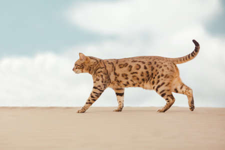Savannah wild cat walking and hunting in desert