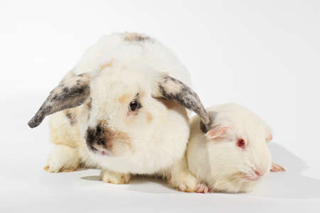 Rabbit and white guinea pig, Rabbit and friend, Rodent family.の写真素材