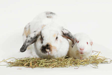 Rabbit and guinea pig eating timothy hay grass over white, Rat and friend.の写真素材
