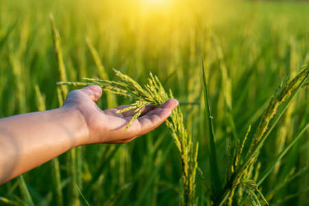 Photo pour The farmer's hand touches the rice fields in warm sunlight. The concept of growing non-toxic plants. - image libre de droit