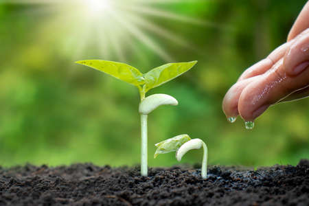 Photo pour Growing crops on fertile soil and watering plants, including showing stages of plant growth, cropping concepts and investments for farmers. - image libre de droit