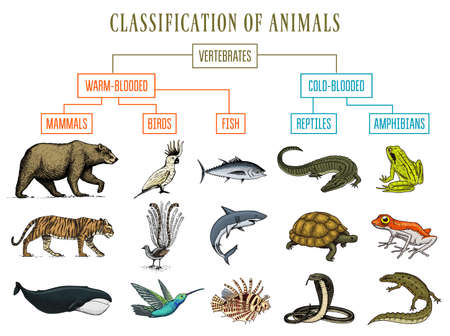 Illustration for Classification of Animals. Reptiles amphibians mammals birds. Crocodile Fish Bear Tiger Whale Snake Frog. Education diagram of biology. Engraved hand drawn old vintage sketch. Chart of Wild creatures. - Royalty Free Image