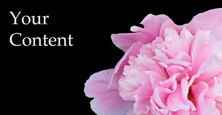 Photo for Blooming peony on black background. Very beautiful picture for your background. - Royalty Free Image