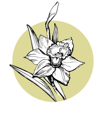 Illustration for Vector isolated element for design with hand drawn flower Daffodil, Narcissus on circle form background. Can be used as floral design of textile print, postcard, greeting card, cover, botanical page. - Royalty Free Image