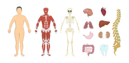 Illustration pour Whole human anatomy. All human body systems as skeleton, skin, organs and muscles. Male body. - image libre de droit
