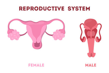 Woman and man reproductive system. Internal human organ. Anatomy and biology concept. Isolated flat vector illustration