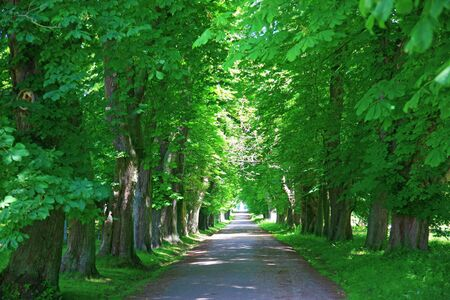 Green alley with old trees