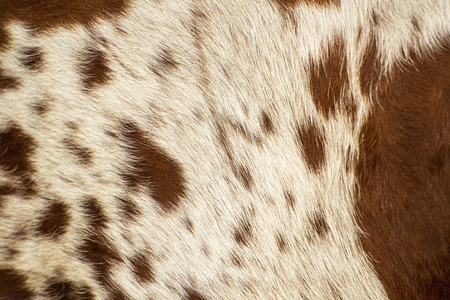 Photo for Closeup pattern of a Longhorn bull cowhide. - Royalty Free Image