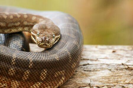 Photo pour Detailed closeup of a Coastal Carpet Python - image libre de droit