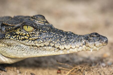 Photo pour The saltwater crocodile is a crocodilian native to saltwater habitats and brackish wetlands from India's east coast across Southeast Asia and the Sundaic region to northern Australia and Micronesia. - image libre de droit