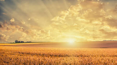 Photo for Golden wheat field on sunset - Royalty Free Image