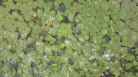 Photo pour Splashes of waves swing leaves and yellow flowers of water lilies on the pond. 4K video, 240fps, 2160p. - image libre de droit
