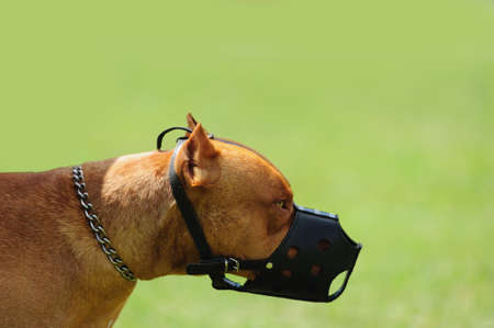 dangerous dog with muzzle on the green background