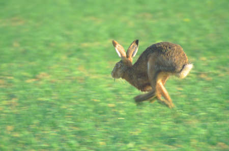 Running hare on a field - Palatinate Germany