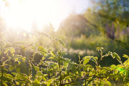 Foto de Green leaves at sunrise, plant rose in morning with sunlight - Imagen libre de derechos