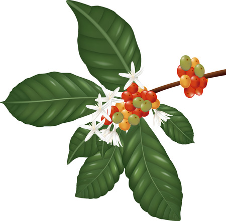 Coffe  species branch with coffee berries and blossom