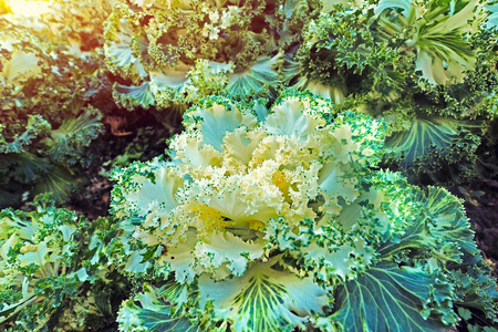 close up fresh cabbage