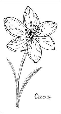 Illustration pour Vector floral illustration with a silhouette of crocus flowers. Isolated elements on a white background. Delicate flower for your floral design. Vector stock illustration - image libre de droit