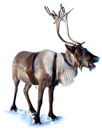 Northern deer are in harness on white background