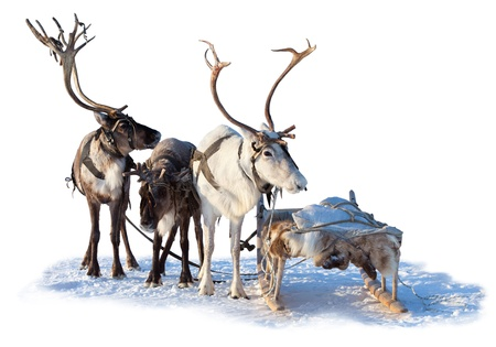 Three northern deer are in harness on white background.