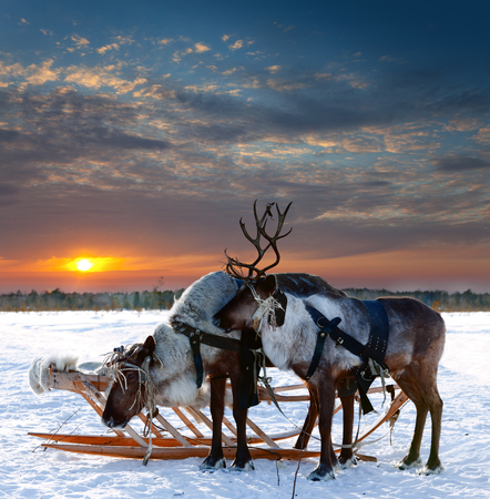 Reindeers are in harness during of winter day