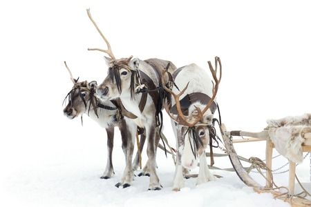 Reindeers are standing in harness during of winter day.
