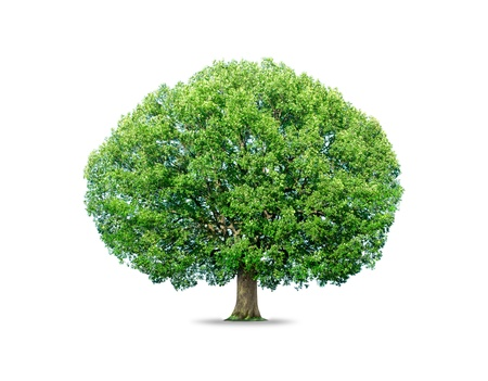 Photo pour tree isolated on white background - image libre de droit