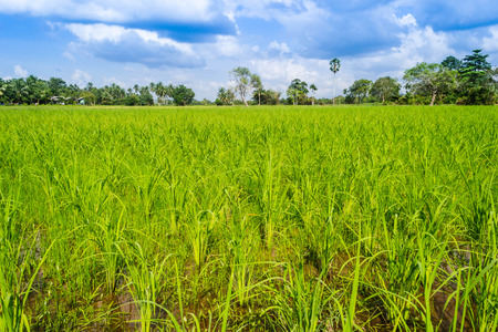 Surrounded by lush green paddy fields, vast.