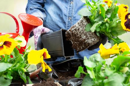 Photo pour Gardener woman taking pansy plant out of plastic pot to plant it into the garden. Planting spring pansy flower in garden. Gardening concept - image libre de droit