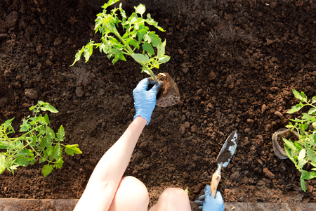Photo for Woman's hands planting tomato seedlings in greenhouse. Organic gardening and growth concept - Royalty Free Image