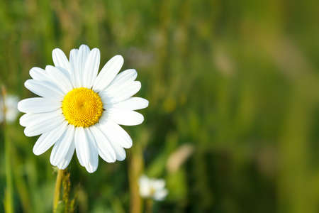 close up of white marguerite flowers with shallow focus