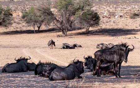 wild Wildebeest Gnu, Kgalagadi, South Africa, true wildlife