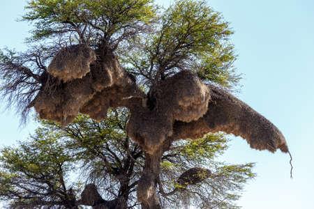 African sociable weaver big nest on tree, african landscape, Kgalagadi Transfrontier Park, Botswana, true wildlife