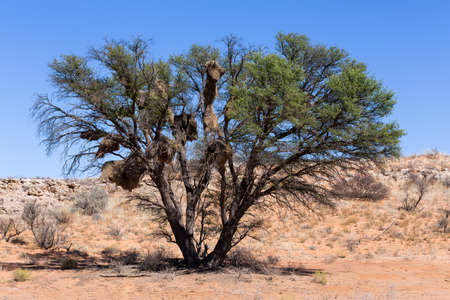 African masked weaver big nest on tree, african landscape, Kgalagadi Transfrontier Park, South, Africa, true wildlife