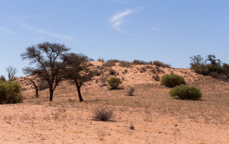 landscape with tree in Kgalagadi transfontier park, South, Africa