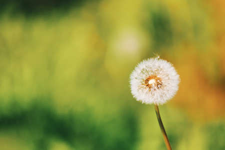 close up of Dandelion flower with shallow focus, abstract spring color background